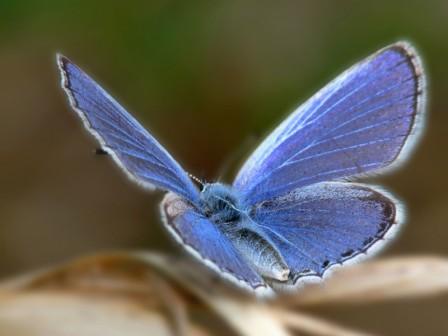hermosa-mariposa-azul-wallpapers_28434_1600x1200